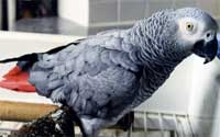 kasuku-le-perroquet